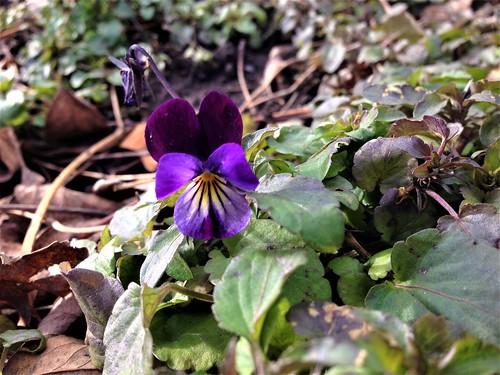 viola bloom!