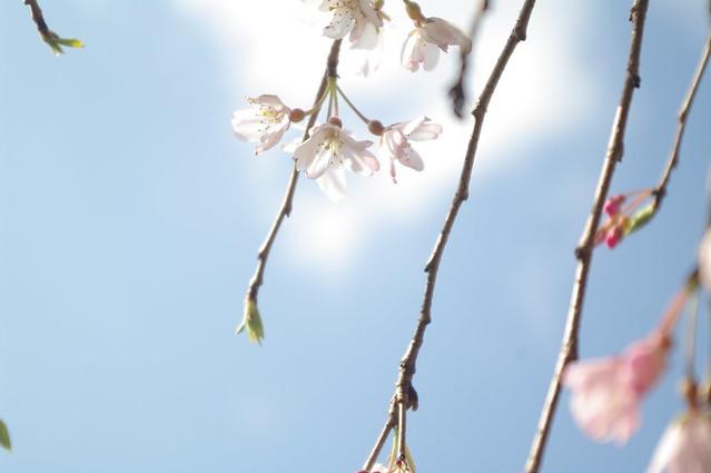438 - wisteria2-kozo