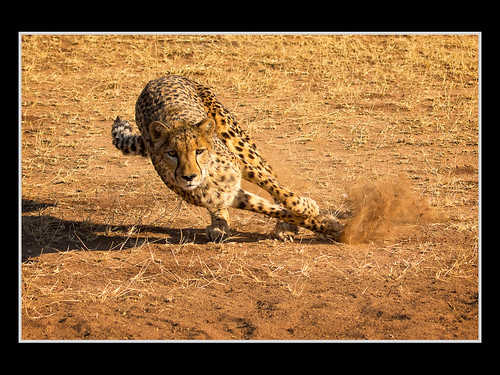 Lean-In Cheetah - by Rick Schoenfield | by Nature Camera Club