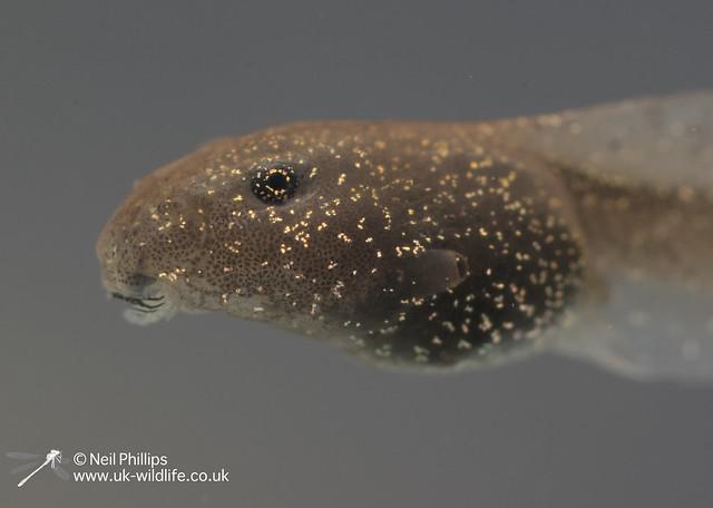 Common frog tadpole_-23