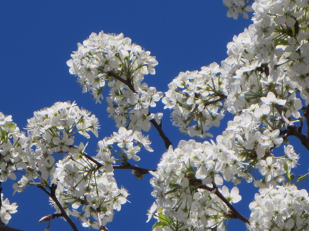 Pyrus Calleryana White Flowering Callery Pear Tree On 9th Flickr