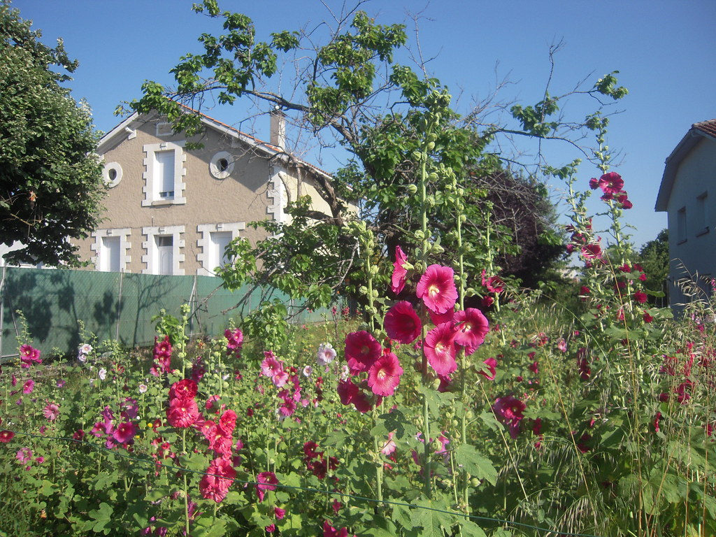 les roses tremieres son nom de rose tr mi re ou rose de. Black Bedroom Furniture Sets. Home Design Ideas