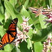 Hummingbird Moth or white lined sphinx moth (Hyles lineata) with monarch on showy milkweed 01