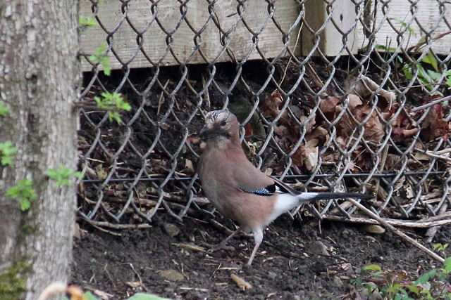 Jay with nesting material
