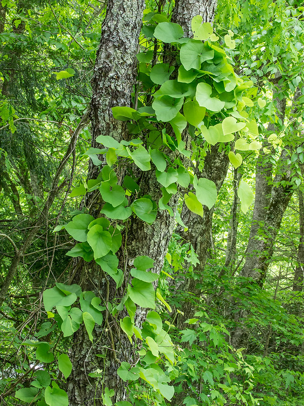 Dutchman's Pipe vine and leaves