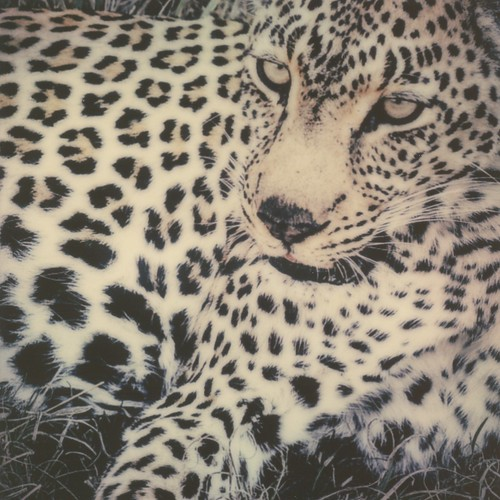 """Big Five"" #2: Leopard 
