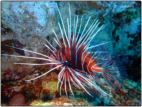 Clear Lionfish (Pterois Radiata) | by Sharon Emma Photography