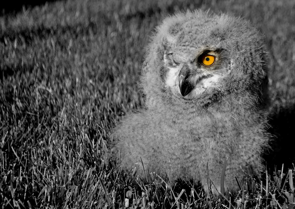 baby owl black and white b&w | baby owl black and white b ... Baby Owl Black And White