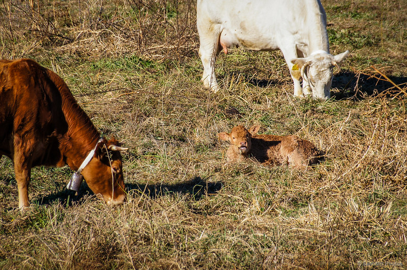 Un ternero entre dos vacas.