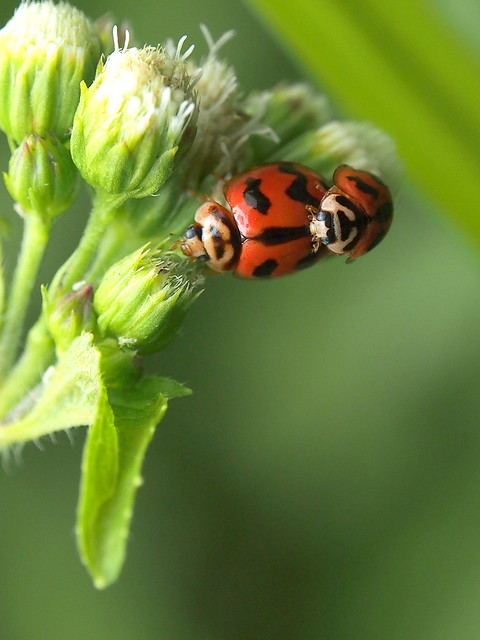 Lady Bird | Mating | Petaling Jaya | Flickr - Photo Sharing!
