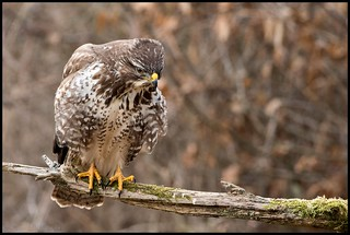 Buse variable / Common Buzzard | by denismichaluszko