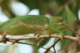 Flap necked chameleon | by firefly041300