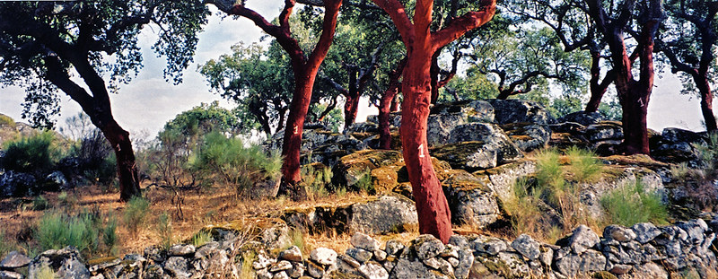 Cork trees in Portugal with a number on it; the number represents the year the tree was last peeled of its bark