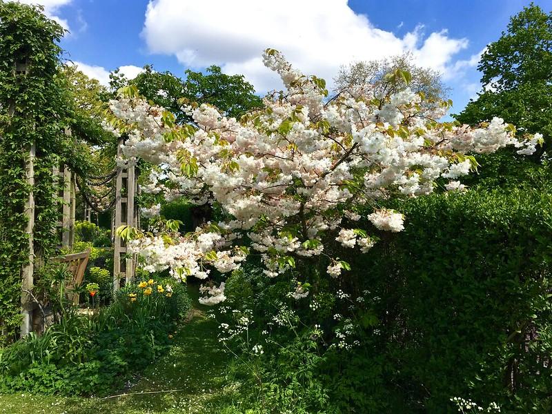 Regent's Park cherry blossom