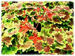 Geranium (Cransbills) flowering in abundance, 26 )ct 2013