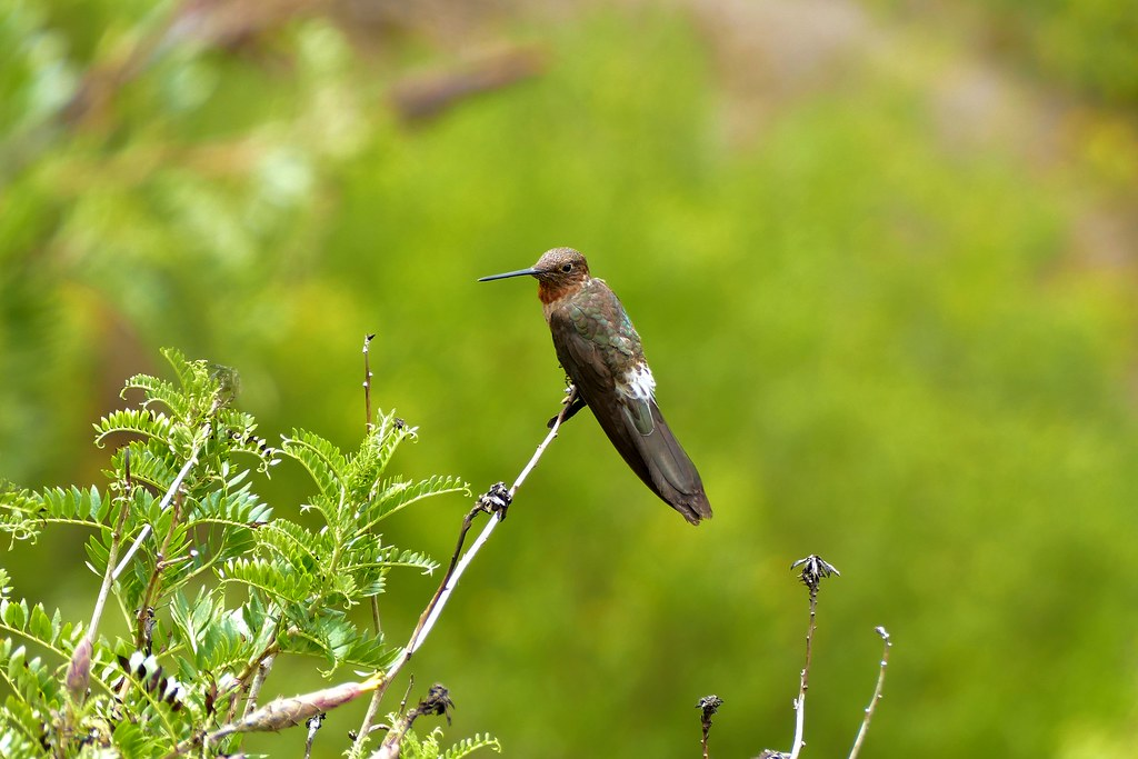 giant hummingbird patagona gigas pisac sacred valley p flickr
