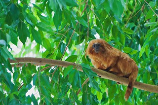 Golden Lion Tamarin In the Trees | by Michael Bentley