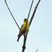 American Goldfinch (Spinus tristis), male