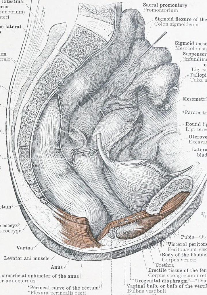 Image From Page 140 Of An Atlas Of Human Anatomy For Stud Flickr