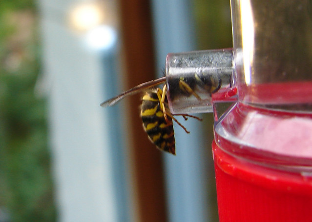 Wasp at hummingbird feeder