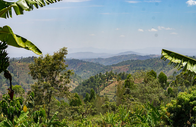 Central Kenya highlands, where coffee is growing at 1.600 to 1.800 masl.