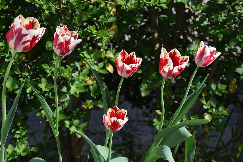 Tulips 12.04 (2)
