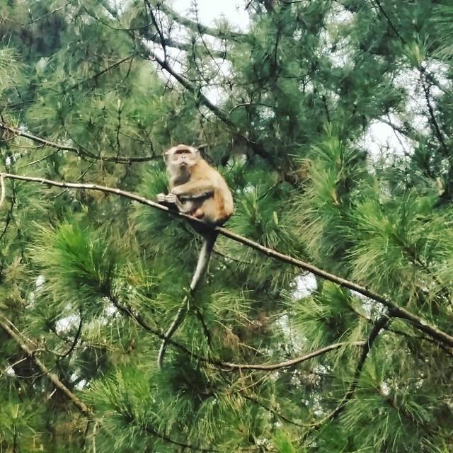 Monyet di Sukamantri