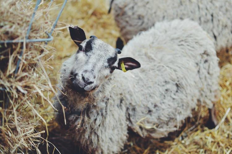 Easter Lamb smiles