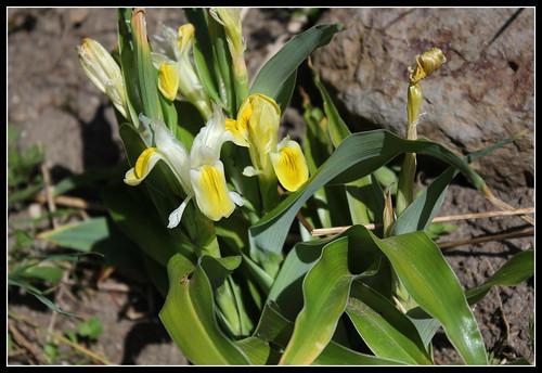 Iris bucharica 33954510786_3206610178
