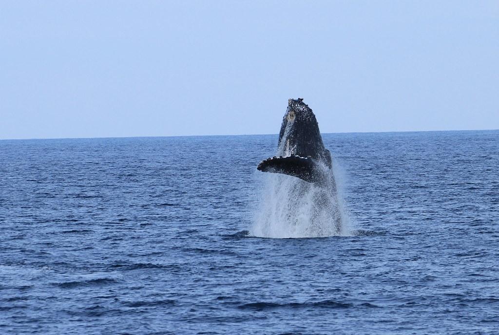 20170415 大翅鯨出沒成功海域