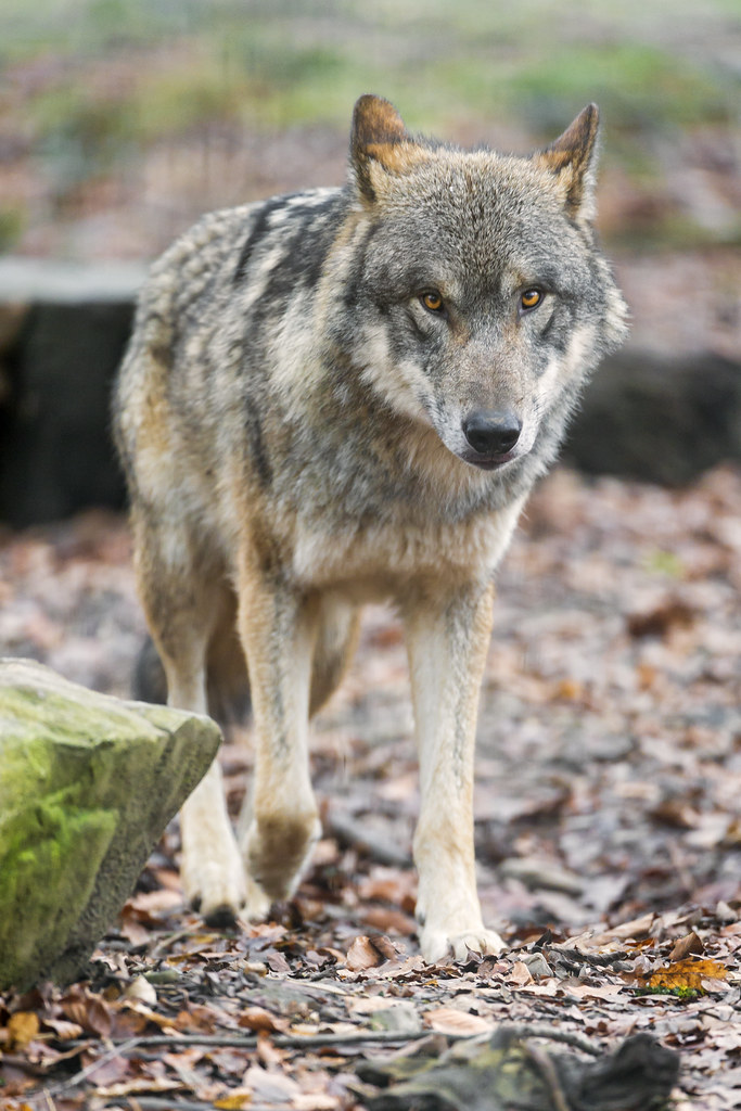 Walking wolf...