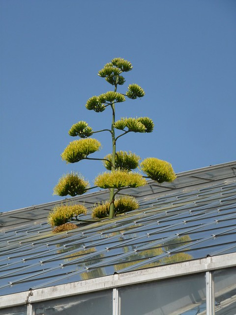 10e Roof Century Agave Matthaei Botanical Gardens Ann Flickr Photo Sharing