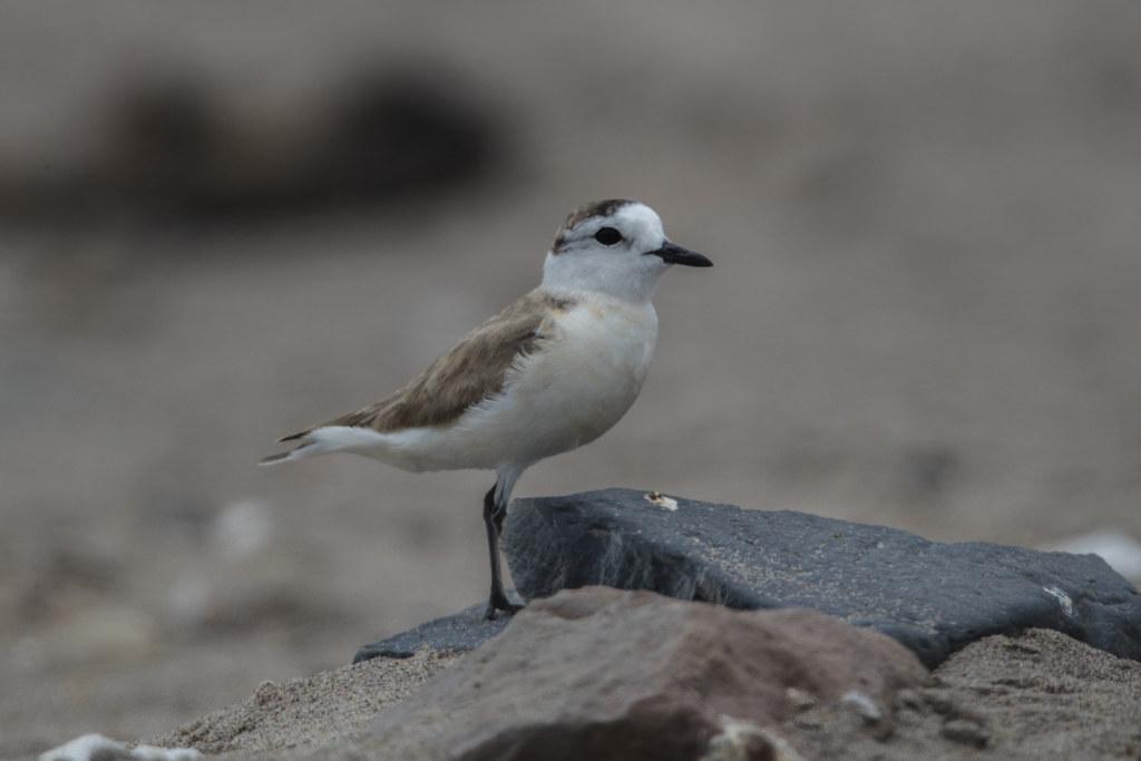 White-fronted Plover Charadrius Marginatus