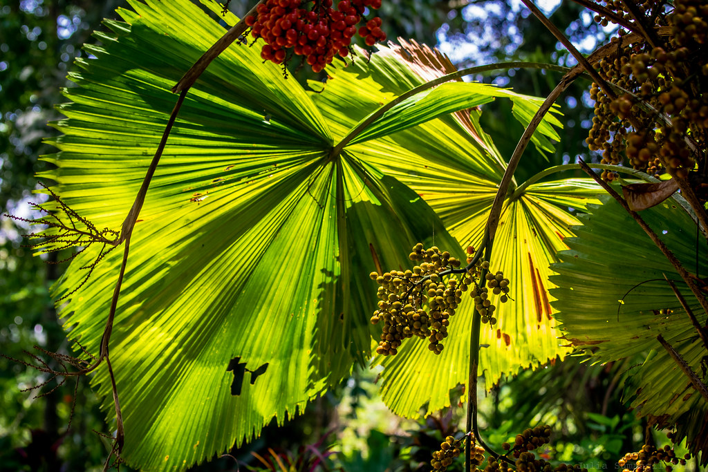 Anahaw   Anahaw is the national leaf of the Philippines. A ...