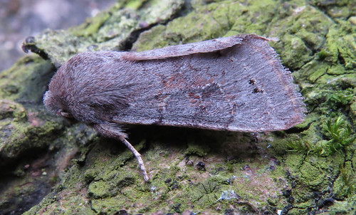 Lead-coloured Drab Orthosia populeti Tophill Low NR, East Yorkshire March 2017