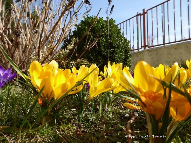Frühlingsblumen im Märzgarten