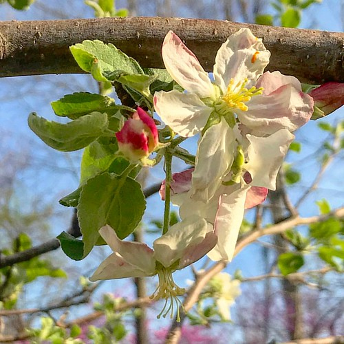 Spring escalated quickly: the apple tree is covered with buds & blossoms. #suzimandyphotochallenge #naturephotooff #naturephotography #naturephoto #naturemacro #flowermacro #flowerstagram #flowerslovers #flowersofinstagram #appleblossom #appletree