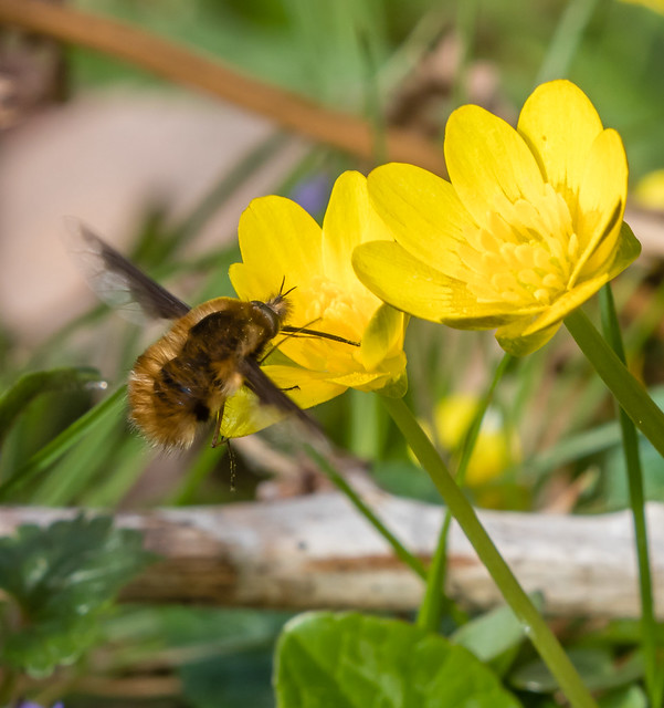 bee-fly on celandines 100e_179