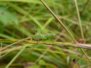 Long Winged Conehead | by Robert Jaques