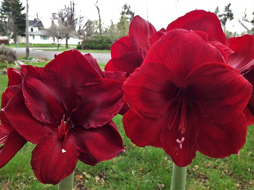 Amaryllis Grand Diva (left) and Queen of Night (right)