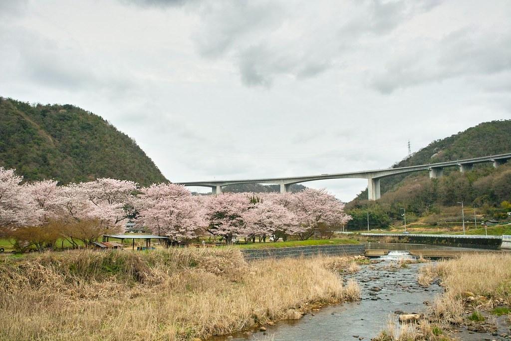 桜と見延橋