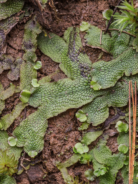 Cat-tongue Liverwort