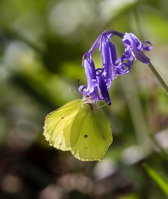 Brimstone Butterfly on Bluebell.100e_487