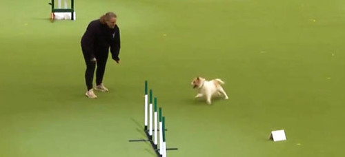 crufts-2017-jack-russell-olly-youtube-video-peter-purves-860312