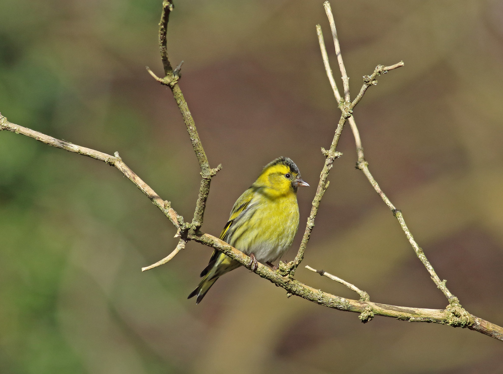 ajsteele-siskin-24-02-17-watercress