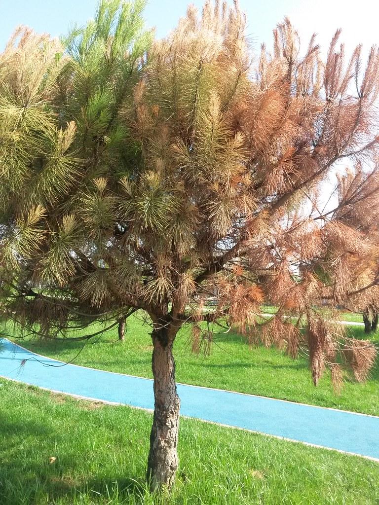dieback of scotch pine  pinus sylvestris