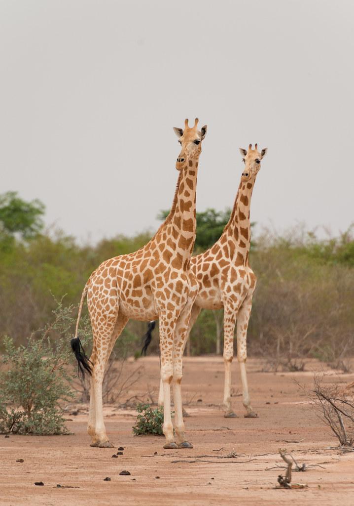 Afbeeldingsresultaat voor Giraffa camelopardalis peralta