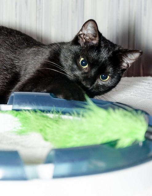 Morgana, gatita negra monísima, juguetona y tímida esterilizada, nacida en Julio´16, en adopción. Valencia. ADOPTADA. 32800121926_ac6896d740_z