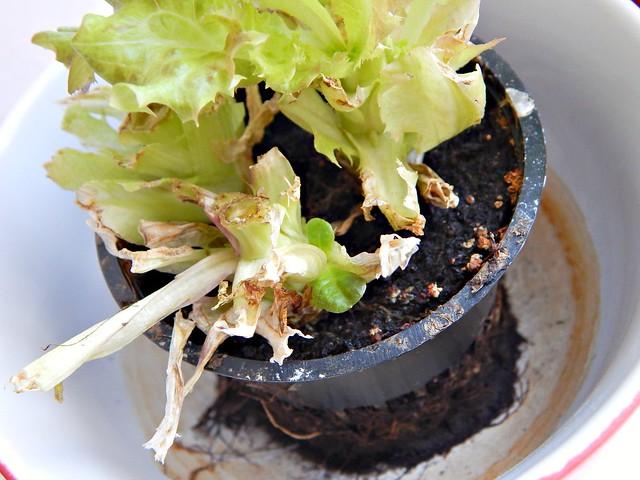 салат - растёт второй сорт