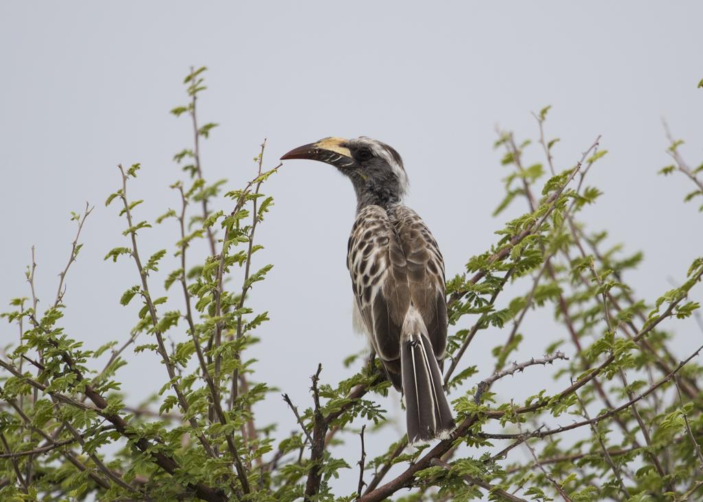 African Grey Hornbill Tockus Nasutus